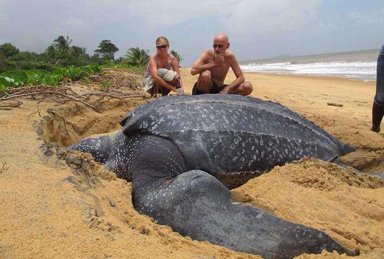 Vidéo – Contemplez la plus grande tortue de mer du monde qui émerge