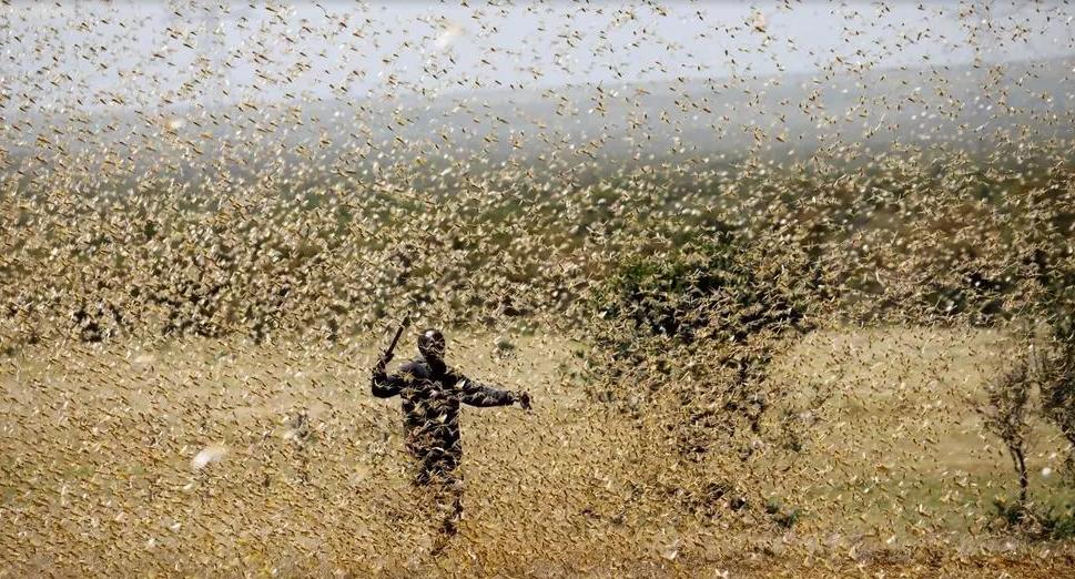 Vallée du Fleuve: des rats et des criquets dévastent les champs