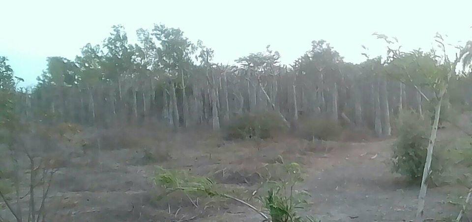 Jacaranda – Poumon vert de Rufisque bientôt en béton? Par Sakku Xam-Xam