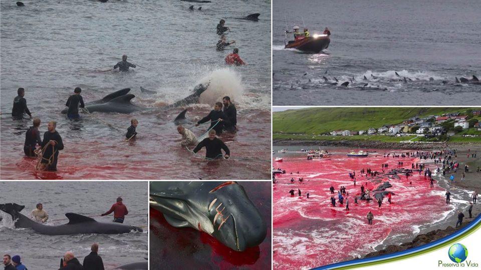 Danemark – Massacre de 300 baleines pour fêter une…