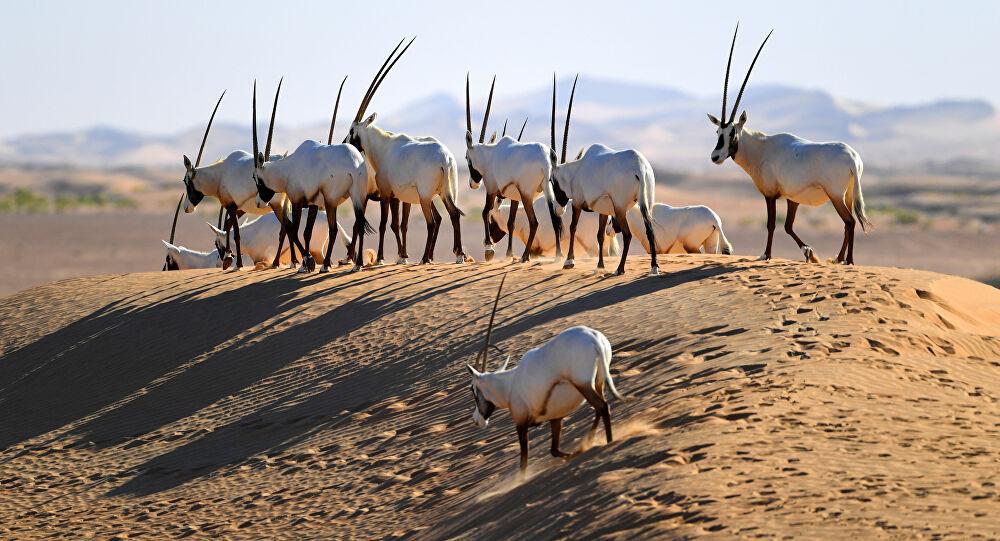 Affaire des gazelles Oryx : Pourquoi autant d'acharnement ? Par Mamadou DIALLO