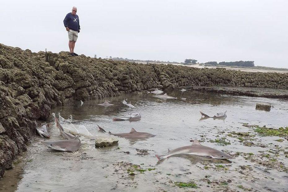 """pêche """"miraculeuse"""" de requins dans une écluse à poissons"""