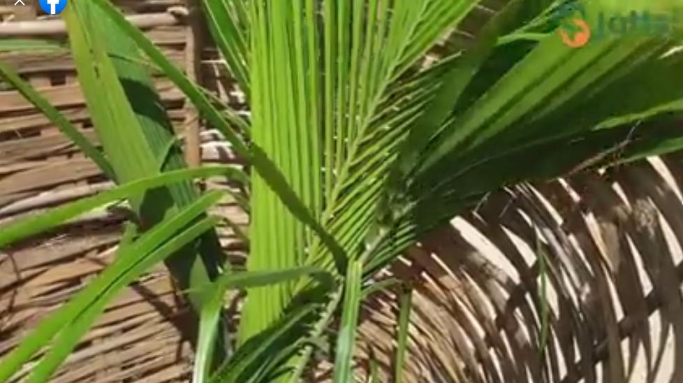 Reboisement – Yoff Layenne – Tonghor: cocotiers, filaos, badamiers pour le reverdissement