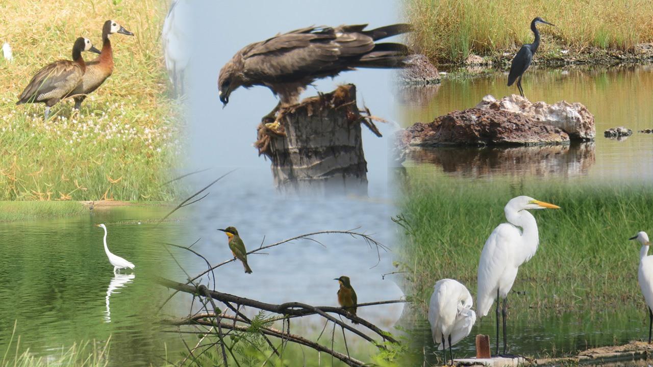 Journée mondiale des Oiseaux migrateurs – Les espèces menacées à cause de…