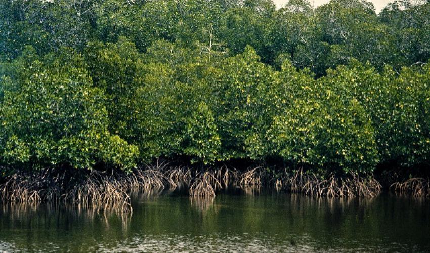 Le projet WACA-CI et l'OIPR misent sur la restauration et la conservation des mangroves dans la lutte contre l'érosion côtière