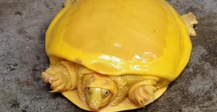 Des experts sauvent une tortue albinos qui ressemble à «du fromage fondu»