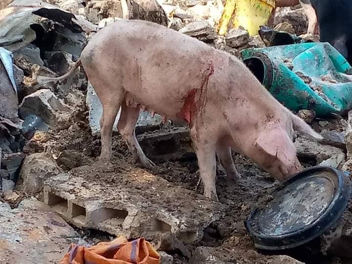 Déguerpissement – La filière porcine de Guédiawaye agressée