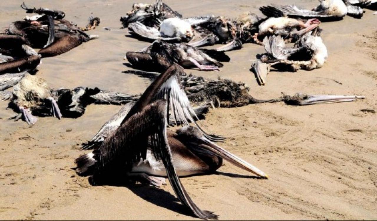 Grippe aviaire – Comme le Sénégal, la Mauritanie touchée avec 279 oiseaux morts
