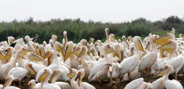 Parc de Djoudj: mort mystérieuse de 750 pélicans