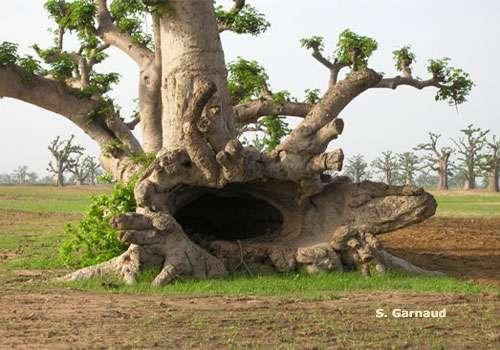 Sénégal – Les baobabs déracinés par le ciment
